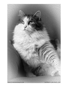 Siberian Forest Cat Grayscale Coloring Page