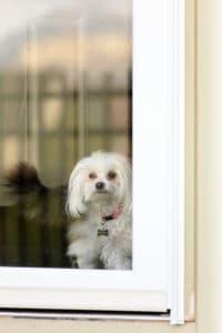 Maltese Dog Rose Pining for a Walk