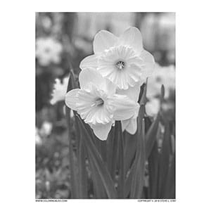 Daffodil Grayscale Photo