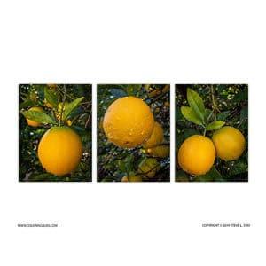 Arizona Navel Oranges After Rain Storm