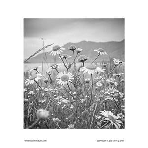 Wildflower Daisies